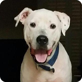 Labrador Retriever Mix Dog for adoption in Summerville, South Carolina - Mack