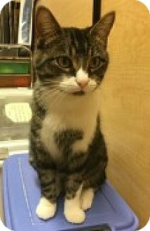Domestic Shorthair Cat for adoption in McHenry, Illinois - Jade
