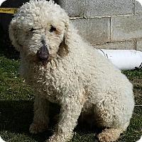 Adopt A Pet :: Casey - moscow mills, MO
