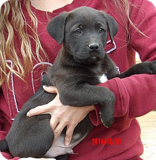 Labrador Retriever/Border Collie Mix Puppy for adoption in Burlington, Vermont - Dodger (8 lb) Video!
