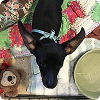 Adopt A Pet :: Queenie - Fallbrook, CA