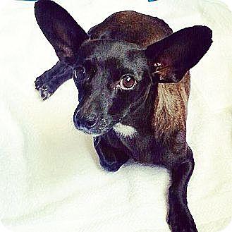 Dachshund/Chihuahua Mix Dog for adoption in Orange, California - Priscilla
