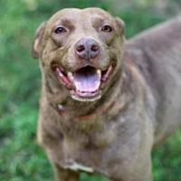 Labrador Retriever Mix Dog for adoption in Franklin, Tennessee - SUNNY