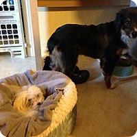 Adopt A Pet :: Aussie - ROME, NY