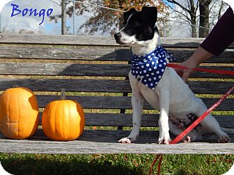 Jack Russell Terrier Mix Dog for adoption in Bucyrus, Ohio - Bongo