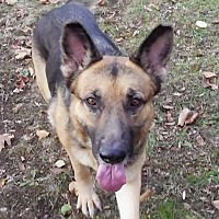 German Shepherd Dog Dog for adoption in Sparta, New Jersey - Tina