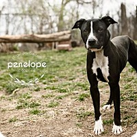 Adopt A Pet :: Penelope - Kansas City, MO