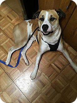 American Bulldog/American Pit Bull Terrier Mix Dog for adoption in Upper Arlngtn, Ohio - Rogan