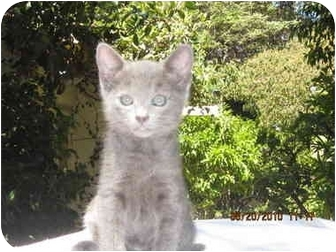 Russian Blue Kitten for adoption in Los Angeles, California - Sophie