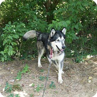 Alaskan Malamute Mix Dog for adoption in Augusta County, Virginia - Wolfgang