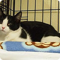 Domestic Shorthair Kitten for adoption in Ocean City, New Jersey - Frankie Fontaine