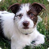 Adopt A Pet :: Belle - San Antonio, TX