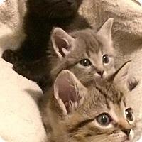Adopt A Pet :: Alvin, Simon and Theodore - Harrisburg, NC