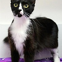 Domestic Mediumhair Cat for adoption in Sebastian, Florida - Little Momma