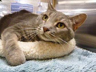 Domestic Shorthair Cat for adoption in Capshaw, Alabama - Lace