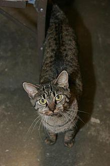 Domestic Shorthair Cat for adoption in Capshaw, Alabama - Harper Lee