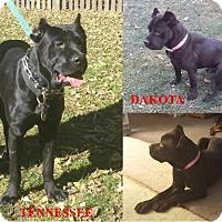 Adopt A Pet :: DAKOTA - Oswego, IL