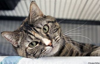 Domestic Shorthair Cat for adoption in St Louis, Missouri - Emma