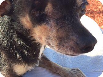 Chihuahua Dog for adoption in Corona, California - Little Buddy, 6 lb, one eye