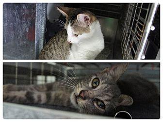 Domestic Shorthair Kitten for adoption in Henderson, North Carolina - Mickey & Max