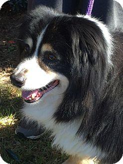 Australian Shepherd Dog for adoption in Mary Esther, Florida - Hudson