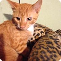 Adopt A Pet :: Dream Pop - Bridgeton, MO
