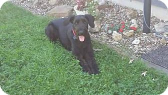 Giant Schnauzer Dog for adoption in Springfield, Missouri - Marshall