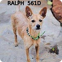 Terrier (Unknown Type, Small)/Chihuahua Mix Dog for adoption in Spring, Texas - Ralph