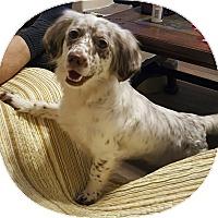 Adopt A Pet :: Freckles - Mount Pleasant, SC