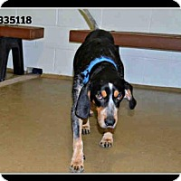 Adopt A Pet :: ELLY MAY - St. Peters, MO