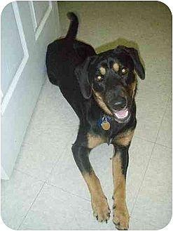 Labrador Retriever/Basset Hound Mix Dog for adoption in Longs, South Carolina - Schultz (aka) Zip