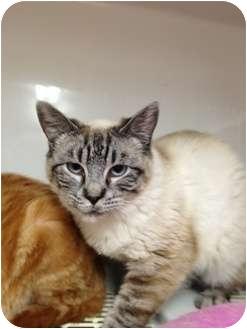 Siamese Cat for adoption in Wenatchee, Washington - Passion