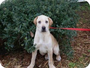 Labrador Retriever Dog for adoption in Largo, Florida - Fowler