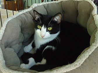 Domestic Shorthair Kitten for adoption in Dale City, Virginia - Pong