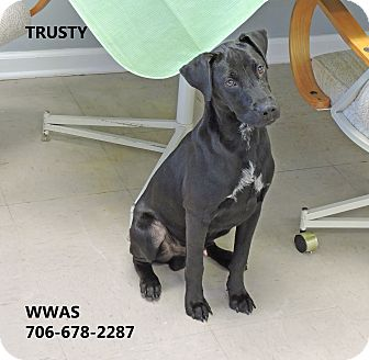 Labrador Retriever Mix Puppy for adoption in Washington, Georgia - Trusty