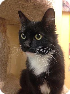 Domestic Mediumhair Kitten for adoption in San Leandro, California - Sweeite