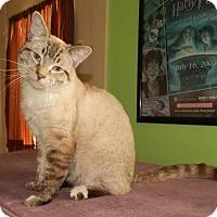 Adopt A Pet :: JUNIPER - LYNX POINT LOVE! - Plano, TX
