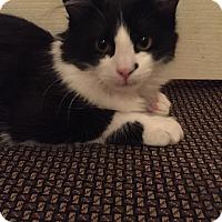 Adopt A Pet :: Valentino - Cerritos, CA