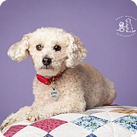 Adopt A Pet :: Penny - Coppell, TX