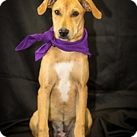 Adopt A Pet :: Barrow - Fayetteville, AR