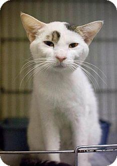 Domestic Shorthair Cat for adoption in Chesapeake, Virginia - Jeb