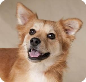 Sheltie, Shetland Sheepdog/Pomeranian Mix Dog for adoption in Chicago, Illinois - Meg