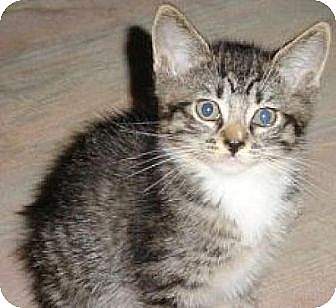 Domestic Shorthair Cat for adoption in Miami, Florida - Punky