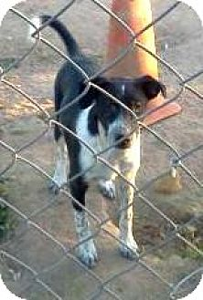 Australian Cattle Dog/Bullmastiff Mix Dog for adoption in Tonopah, Arizona - Moe