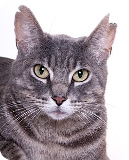 Domestic Shorthair Cat for adoption in Chicago, Illinois - Cuddles