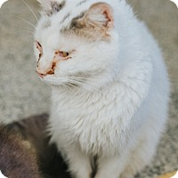 Domestic Shorthair Cat for adoption in Indianapolis, Indiana - Tilda