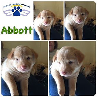 Catahoula Leopard Dog/Labrador Retriever Mix Puppy for adoption in Folsom, Louisiana - Abbott