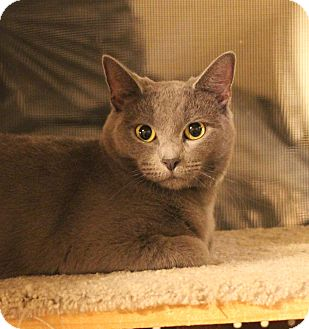 Domestic Shorthair Cat for adoption in Carlisle, Pennsylvania - Misi
