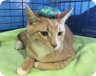 Domestic Shorthair Cat for adoption in Gaithersburg, Maryland - Bronte