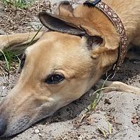 Adopt A Pet :: Barty - Brandon, FL